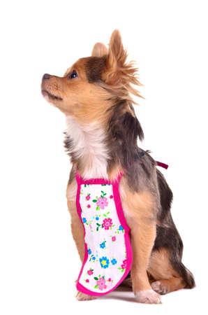 chiwawa: Chief chuhuahua puppy wearing apron isolated on white background