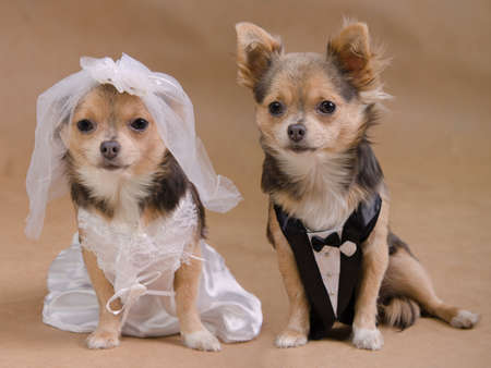 A male and a female chihuahua dressed as a bride and groom, isolated Stock Photo