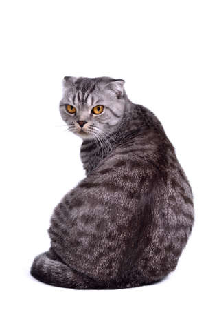 listening back: Back view of isolated scottish fold cat sitting with face turned to the viewer Stock Photo