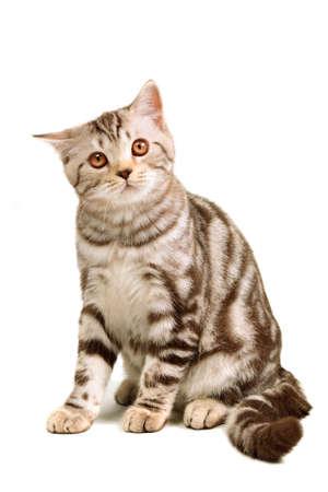 grey tabby: Scottish fold kitten sitting isolated on white background