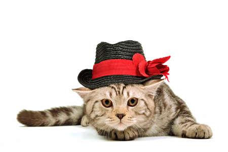 Scottish fold kitten wearing black hat isolated on white background photo