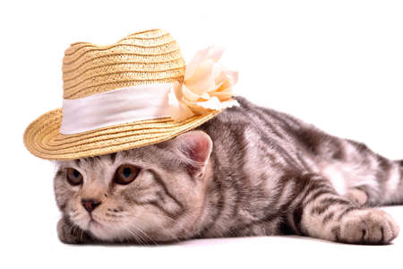 fold: Scottish fold kitten wearing white straw hat isolated on white background Stock Photo