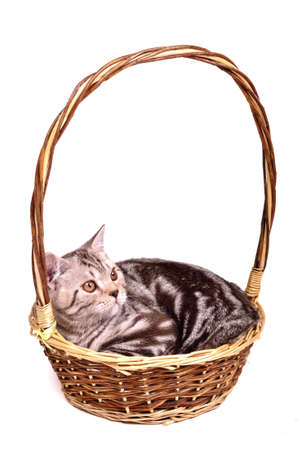 grey tabby: Scottish fold kitten lying in a basket isolated on white background Stock Photo