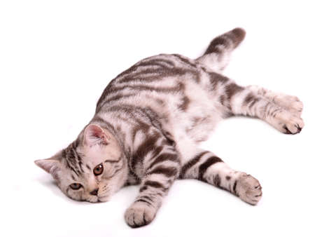 attention grabbing: Playful skottish fold kitten lying isolated on white background