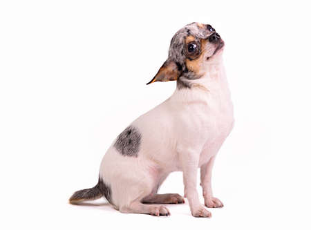 Chihuahua dog against white background Stock Photo - 11519484