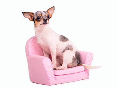 Chihuahua puppy sitting in a pink armchair, isolated on white background photo