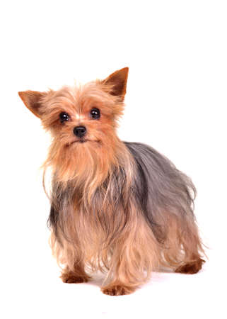 Yorkshire terrier isolated on white background photo