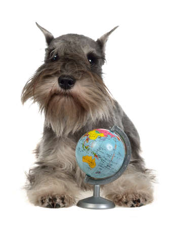 dog school: Zwergschnauzer with globe, isolated