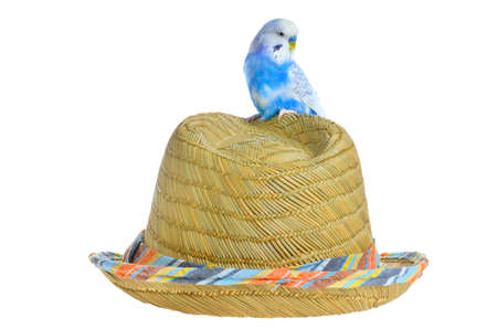 Blue parrot on a straw hat isolated photo