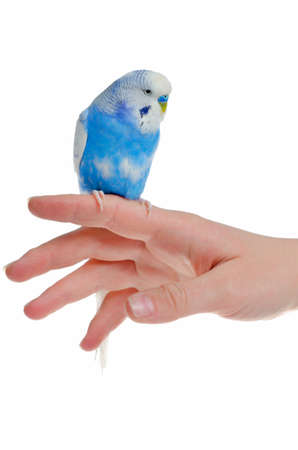budgie: Parrot on hand, isolated on white background