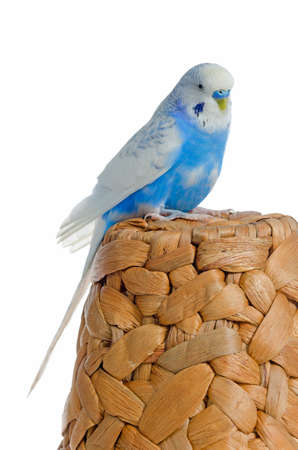 budgie: Blue parrot on a rattan hat, isolated