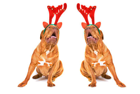 Dogs Dressed as Reindeers singing Christmas songs Stock Photo - 11519564