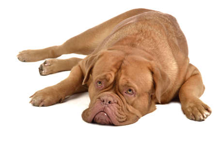 French mastiff lying, isolated on white