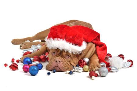 Santa dog with Christmas decorations, isolated photo