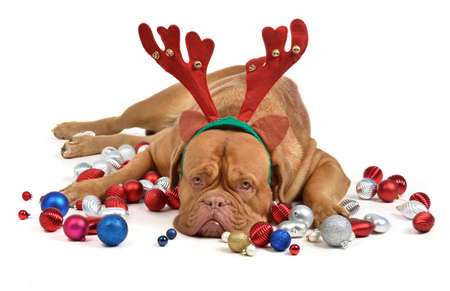 Reindeer dog with Christmas baubles isolated photo