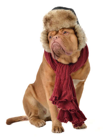 dogue de bordeaux: Puppy with fur cap with ear flaps and a scarf