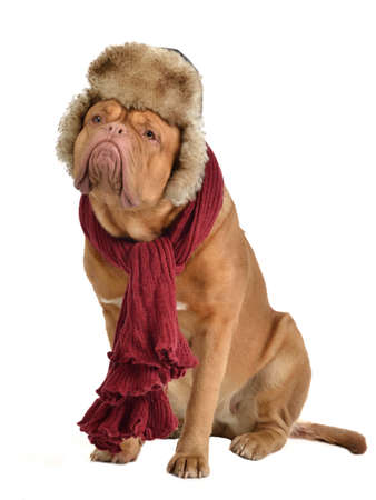 Dog wearing fur cap with ear flaps and a scarf, isolated photo