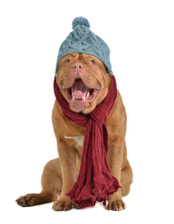dogue de bordeaux: Yawning dog with winter clothes Stock Photo
