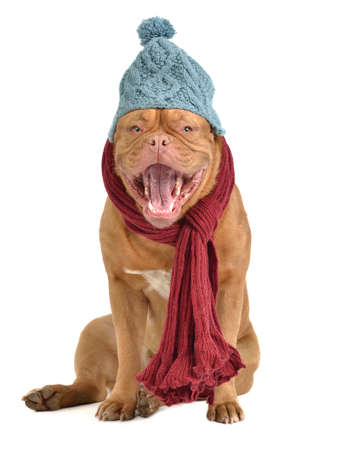 Barking dog with winter clothes photo