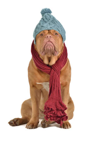 bordeaux dog: Winter dog with hat and scarf isolated Stock Photo