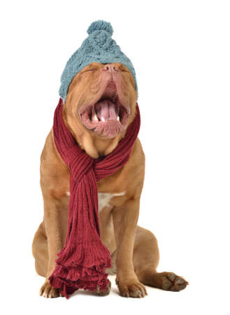 Ridiculous dog with winter clothing isolated photo