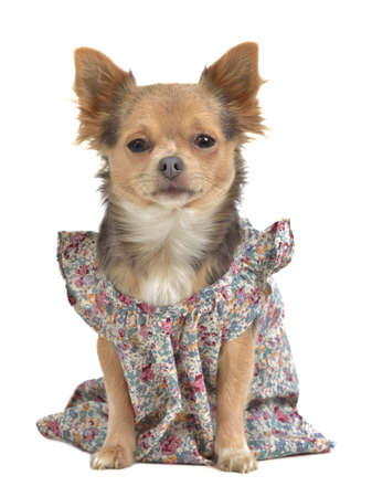 Dog with stylish gown isolated photo