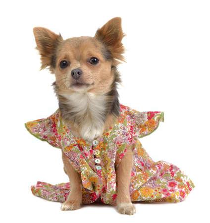 Chihuahua with rural stuye dress isolated photo