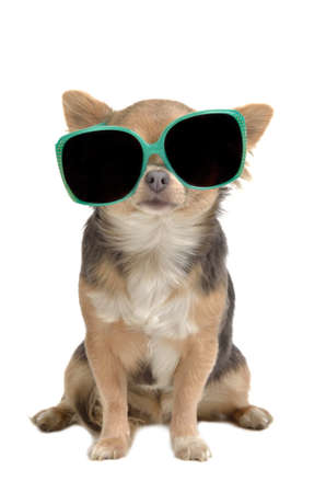 chiwawa: Funny dog with glasses isolated Stock Photo