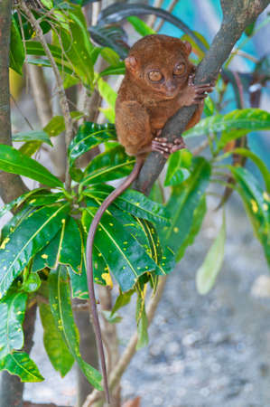 smallest: Tarsier - the smallest of all primates sitting on a branch