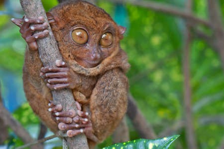big eyes: Tarsier with eyes wide open