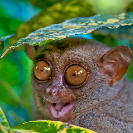 Close up of a Tarsier hiding under a leaf