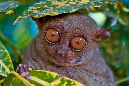 Big Augen Tarsier versteckt unter einem Blatt