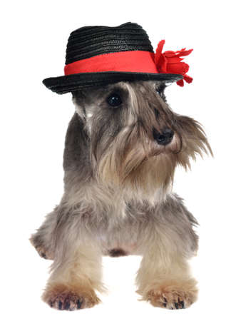 Dog with hat isolated photo