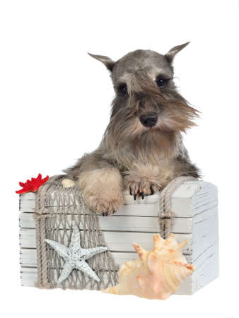 hairy chest: Bearded dog with old treasure chest