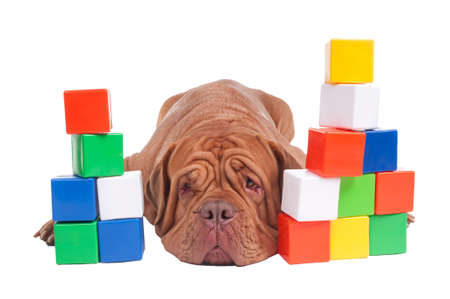 molosse: Dogue de bordeaux with colorful construction blocks