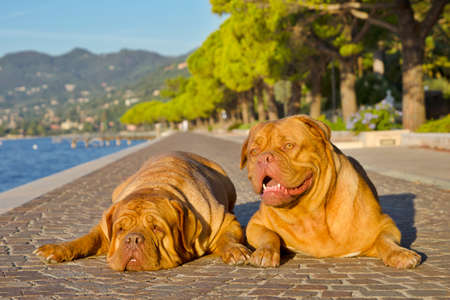 Two dogues de bordeaux lying on a paved alley bear the shore photo