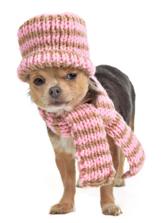 Chihuahua funnily dressed for cold weather, Isolated photo