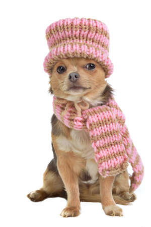 Chihuahua puppy with scarf and hat, isolated photo