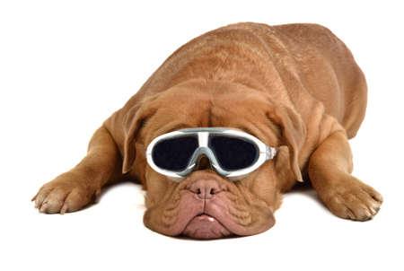 bordeaux mastiff: Big dog with glasses isolated