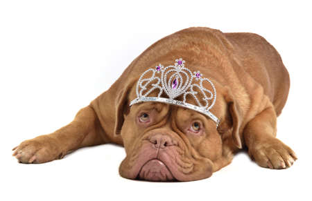 Adorable dog with silver diadem photo
