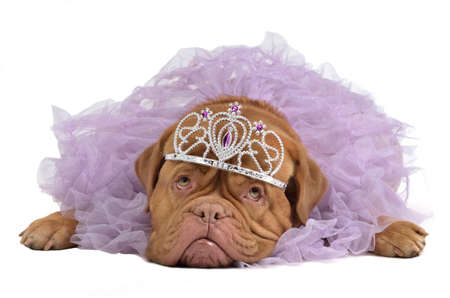 royal background: Royal dog with crown isolated Stock Photo
