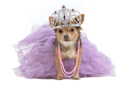 chihuahua dog: Royal dog with crown isolated Stock Photo