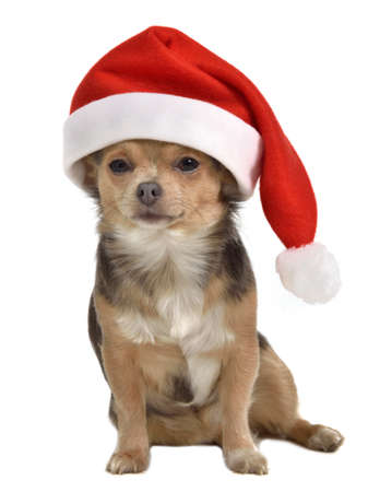 Santa dog with red hat, isolated photo