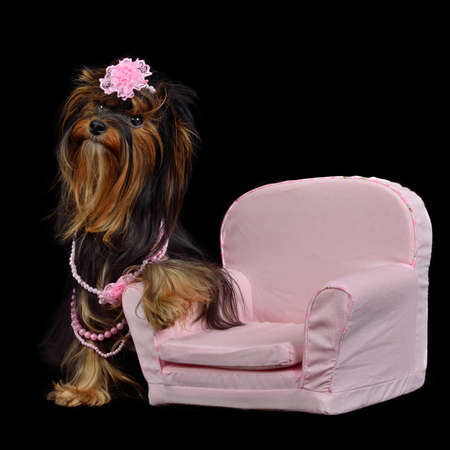 Glamour Yorkie dog among pink items isolated on black photo