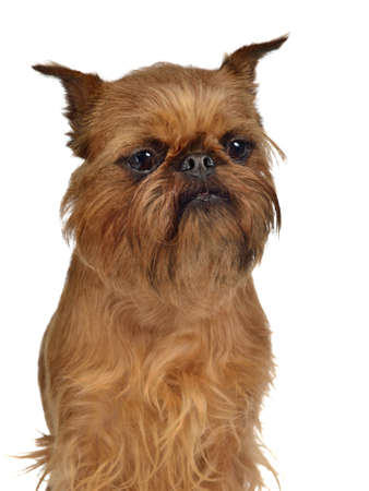 brussels griffon: Brussels Griffon portrait, isolated