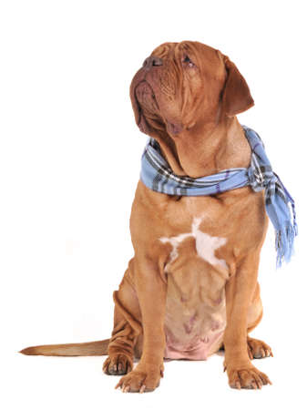Big dog with scarf isolated photo