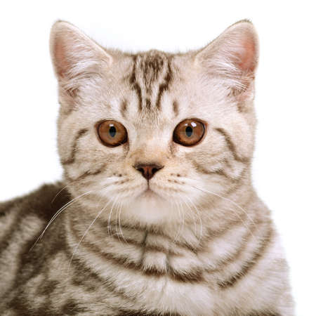 british shorthair: Scottish fold kitten portrait