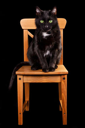 white tail: Black cat on wooden chair isolated Stock Photo
