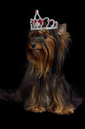 yorky: Real Yorkie perro con la corona