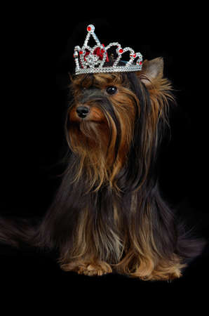 silky terrier: Royal Yorkie dog with crown Stock Photo